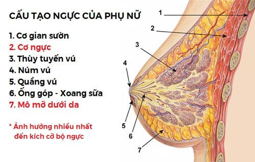 cấu tạo tuyến vú của phụ nữ
